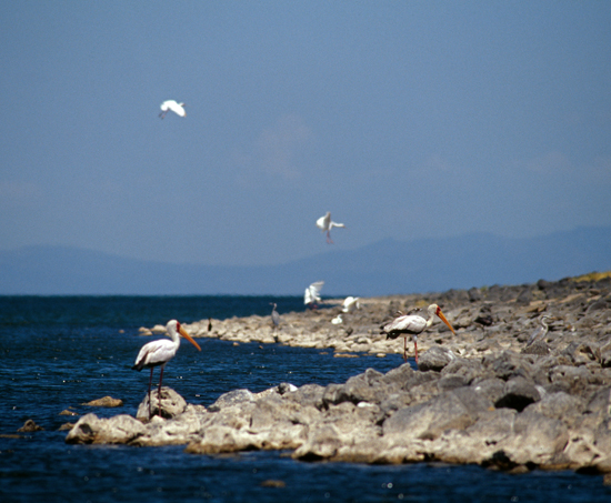 Prolific birdlife along the shore of lake Turkana