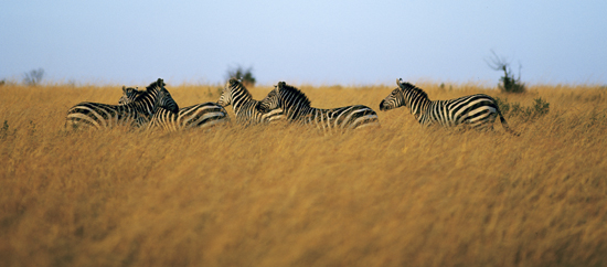 Zebras in golden grass