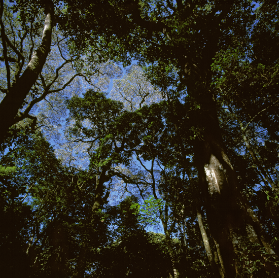 The high canopied indigenous forest has been the focus on much field research into forest ecology – here a look into the canopy in Buyangu area famous for its virgin forest with trees easily reaching over 100 years of age and therefor housing an incredible biological diversity. Part of this biological diversity is caused by the geographic location in the tropics. But also Kakamega forest is a mix of east- and west equatorial Africa, making it one of the most accessible and exotic rain forests to visit in Kenya and possibly in all of East Africa.    Photo © Mikkel Alexander Grabowski