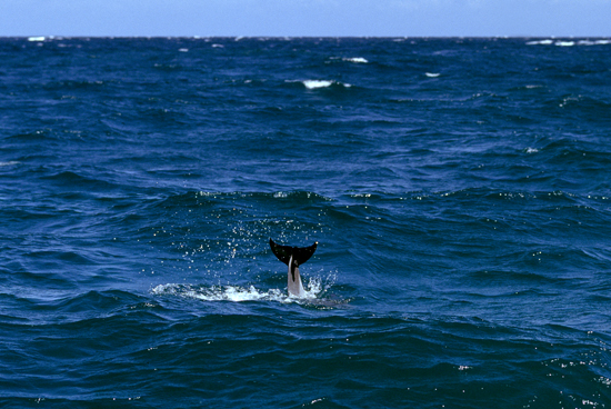 Dolphin at Kisite-Mpunguti