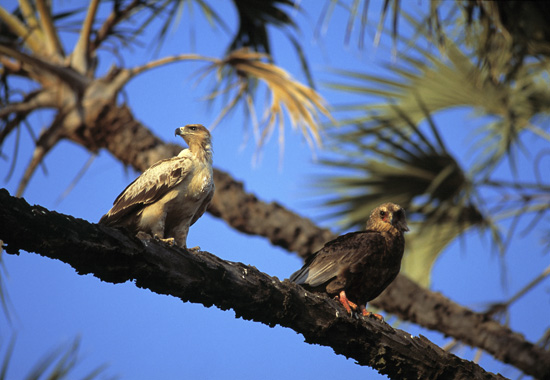 Two eagles on a branch
