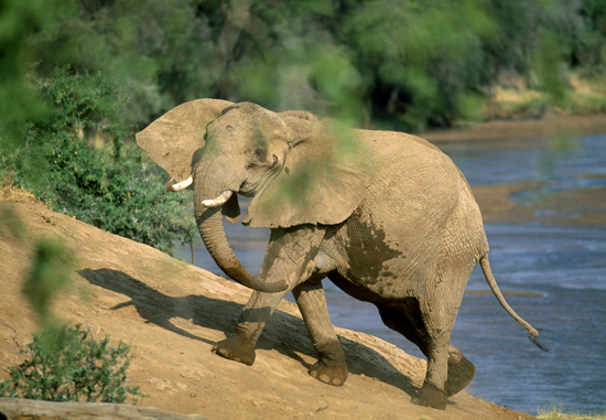Elephant climbing the riverbank