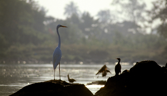 Great white Heron at early morning by Lake Victoria