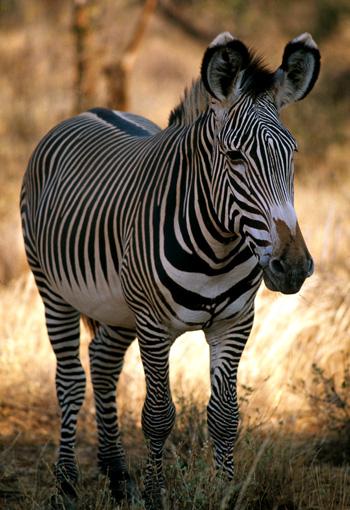 Grevys zebra in Kenya