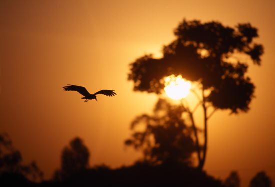 Hammerkop at sunrise