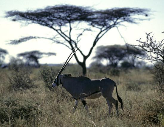 Oryx antelope in Samburu