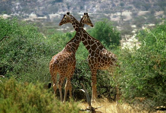 Reticulated giraffes in Samburu National Reserve
