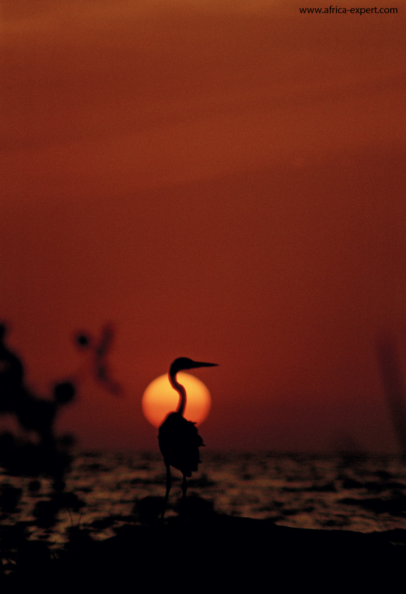 A Goliath heron at lake victoria by sunset