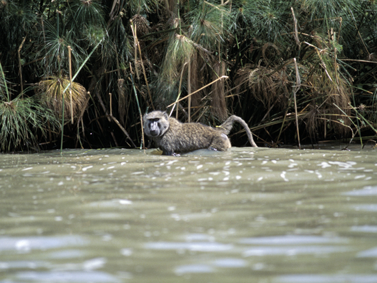 Baboon in Lake Victoria