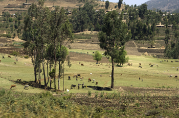Green field in Ethiopia