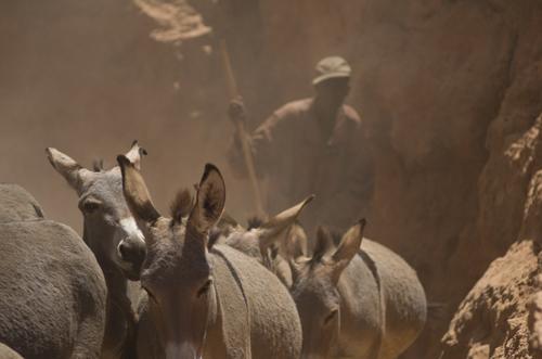 Man herding donkeys