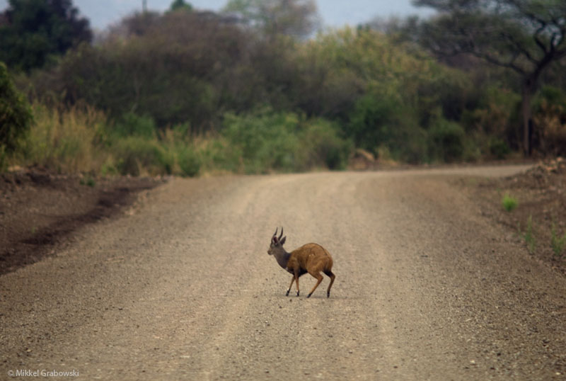 The bushbuck is the most widespread antelope in Sub-Saharan Africa – photo © Mikkel Grabowski