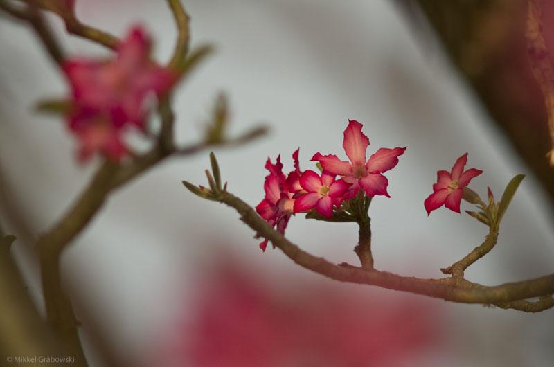 Desert Rose in Mago National Park, Ethiopia