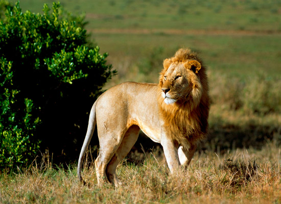 A male lion in Masai Mara Kenya